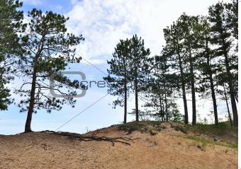Pine trees on dunes