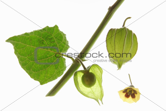Cape Gooseberry (Physalis peruviana)