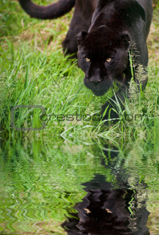 Black jaguar Panthera Onca prowling through long grass reflected