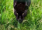 Black jaguar Panthera Onca prowling thorugh long grass