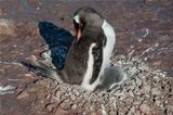 Gentoo penguin baby under his mother. Antarctica
