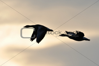 Graylag geese in flight