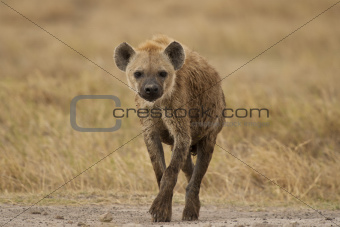 hyena walking in the bush