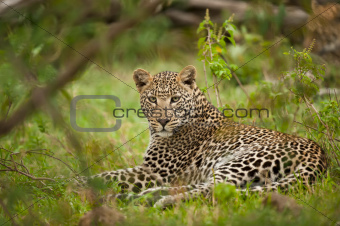 leopard laying