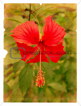 Red hibiscus flower on a piece of old paper