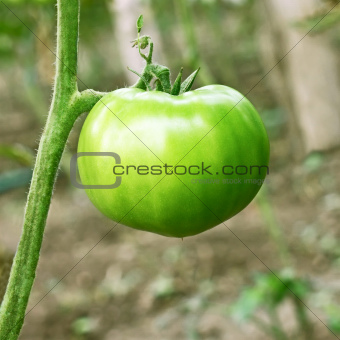 Big green unripe tomato