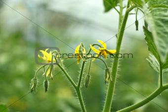 Tomatoes flowering