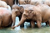 Herd of elephants in the river