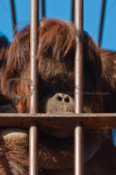 Orangutan in Zoo