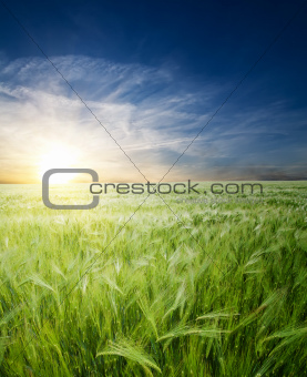green wheat in field under sunrays
