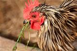 Rooster eating
