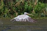 Dalmatian Pelican (Pelecanus crispus) 