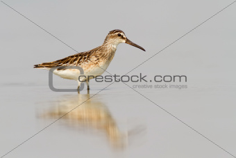 Broad-Billed Sandpiper In Shallow Water