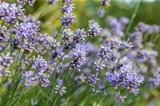 Lavender flowers in a field during summer