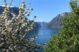 Flowering tree by the fjord.