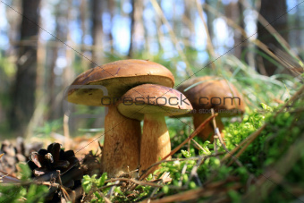 beautiful mushroom in the autumn forest