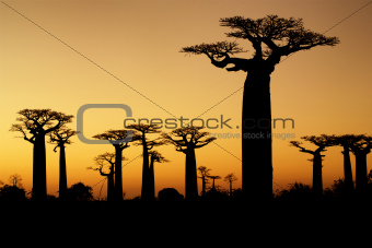 baobabs sunset silhouette