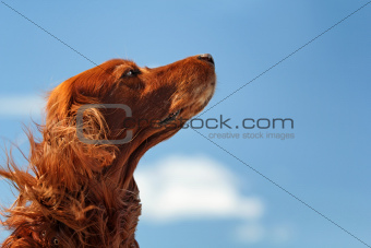 Red dog on sky
