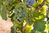 Bunches of Green Grapes on Vineyard 2