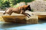 malinois jumping in the river