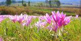 autumn crocus in the field