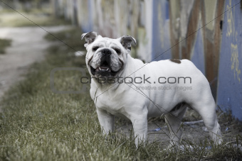 English bulldog graffiti