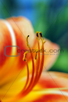 Orange Lily Macro