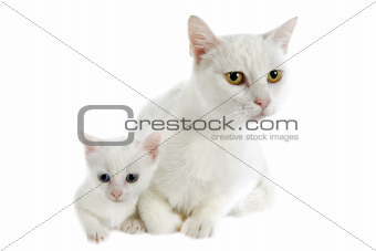 white kitten and mother