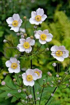 Small white flowers with garden in background.