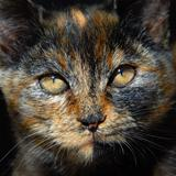 Amber Eyes in Calico Face