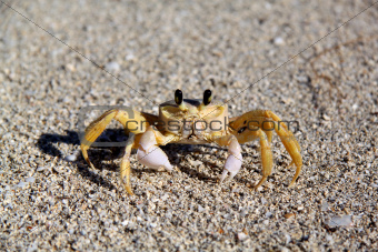 yellow crab