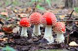four red fly agaric