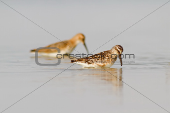 Broad-billed Sandpiper And Dunlin