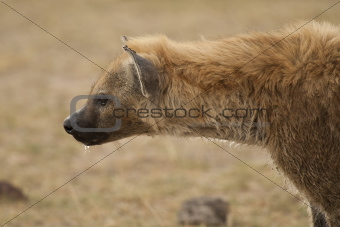 portrait of hyena