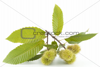 branch of chestnut