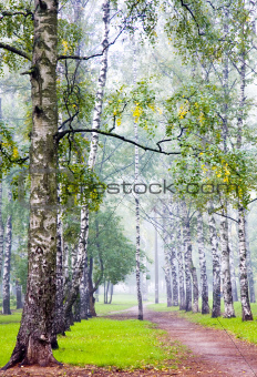 Morning birch grove in september fog