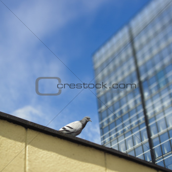 Single dove next to skyscraper