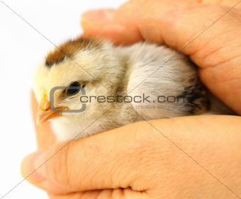 Little chick protected by hands