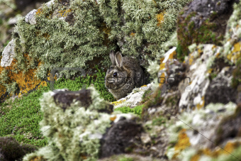 Wild rabbit sheltering behind rocks