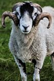 Herdwick adult ram