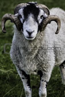 Herdwick adult ram