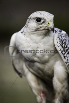 White gyrfalcon , Falco rusticolis