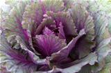 Fresh violet Cabbage 