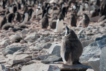 Adelie penguine taking sunbathe in Antarctica