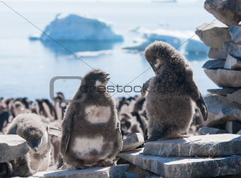 Two young penguins taking on the beach of Antarctica