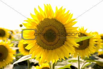 Beautiful sunflowers growing