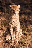 Wild Cheetah Cub