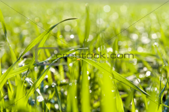 green grass close up with water drops
