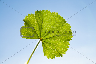 green leaf on sky background sun against