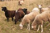 Brown Sheep and White Sheep with Ear Chips grazing in a field in Switzerland